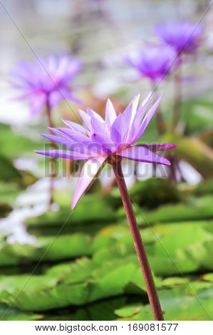 Softly focus purple lotus flower or water lily flower in the pond