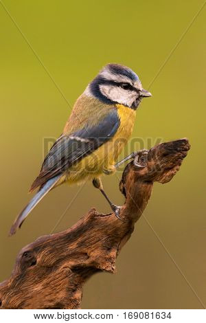 Nice tit with blue head perched on a branch