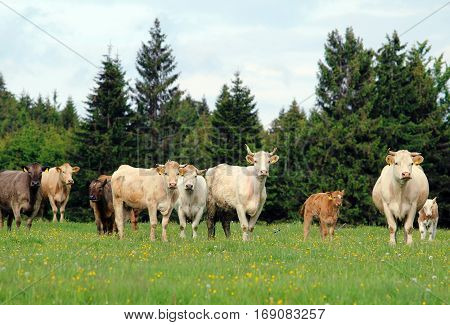 A herd of cow grazing on lush green meadow with calf