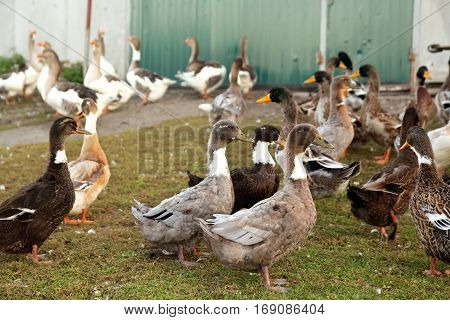 group of ducks and geese in the yard in village