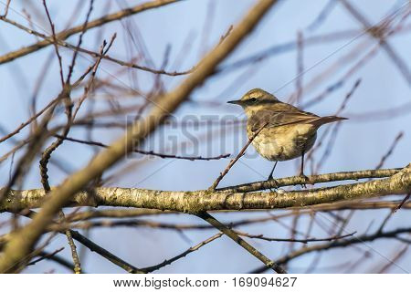 A water pipit is sitting on a branch