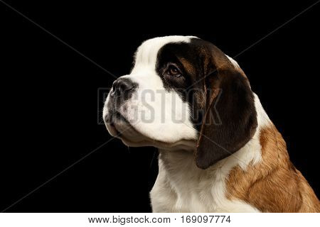 Close-up Portrait of Saint Bernard Puppy Looking up on Isolated Black Background, Profile view