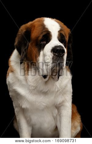 Portrait of White Saint Bernard Dog Sitting on Isolated Black Background, Front view