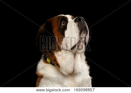 Portrait of Saint Bernard Dog Looking up on Isolated Black Background, Profile view