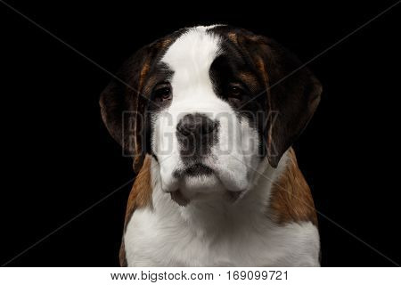 Close-up Portrait of Cute Saint Bernard Purebred Puppy Face on Isolated Black Background, Front view