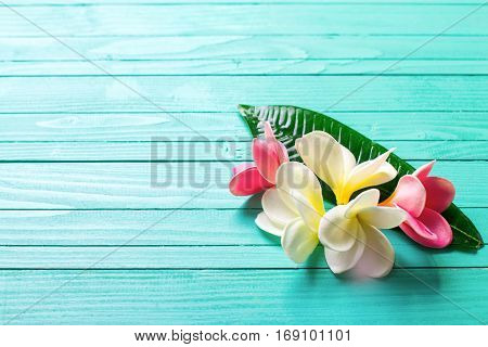 White and pink tropical plumeria flowers on aquamarine wooden background. Selective focus. Place for text.