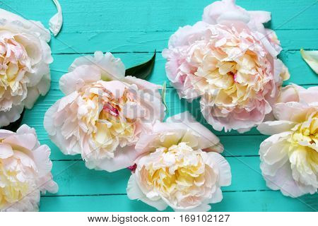 Pink peonies flowers on turquoise wooden background. Flat lay. Selective focus.