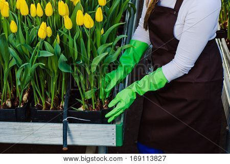 Gardener takes care of tulips, close-up of hands, wearing gloves.Tulip Hydroponically, in greenhouse, Industrial cultivation of flowers