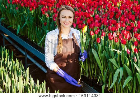 Female gardener holding a tulip, standing in a greenhouse. Industrial cultivation of flowers