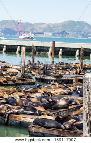 Seals and Sea Lions basking in sun in San Francisco