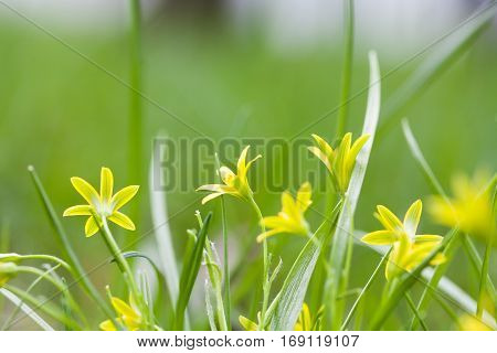 Small yellow flowers blooming in grass field. Gagea lutea Yellow Star of Bethlehem spring flowers in the lily family. Perennial herb, first plant in broad-leaved forests. Soft focus photo