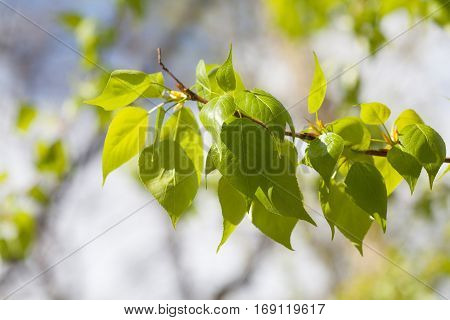 Greenery leaves on green background. Poplar tree branch macro view. Spring time concept, sunny day weather photo