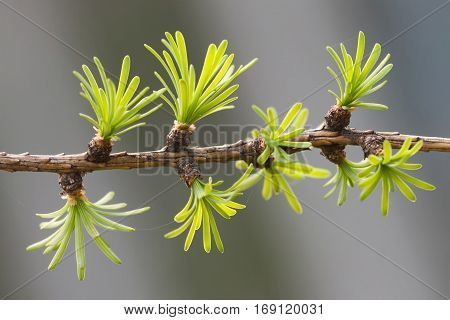 Fresh fir tree branch. evergreen leaves needles, gray background. shallow depth field.