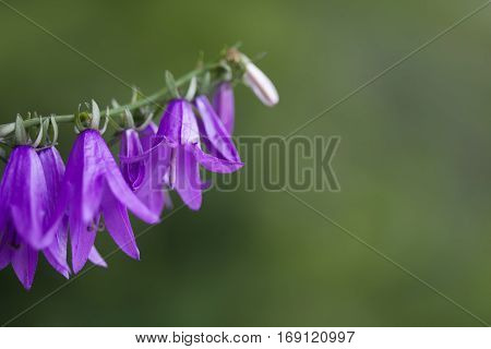 Bell flower. Small violet flowers on the stem. Green background. Soft focus, macro copy space.