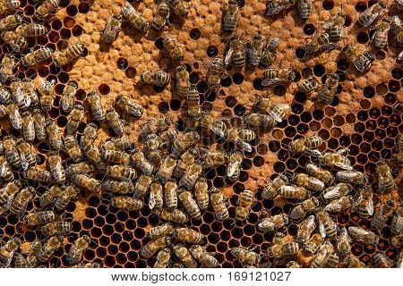 Busy Bees Inside Hive With Sealed Cells For Their Young.