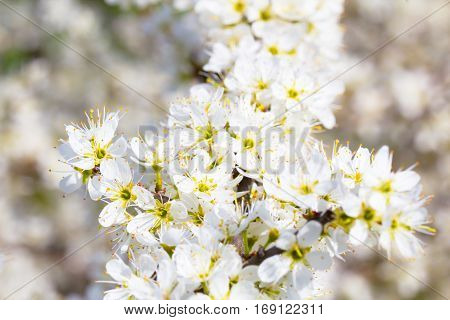 Beautiful spring cherry branch full of white blossom flower as a close up background