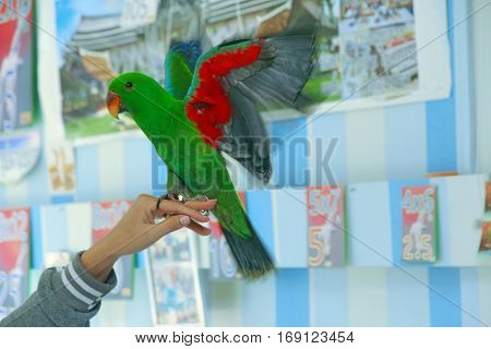 Male Eclectus Parrot, Age Five Months. The Birds Stretch Wings