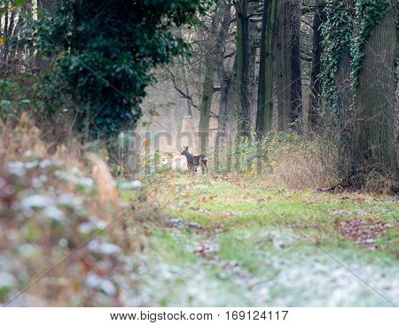 Alert Roe Deer Standing On Path In Winter Forest.