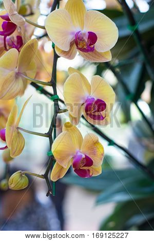 Yellow orchid flower in garden show nature concept