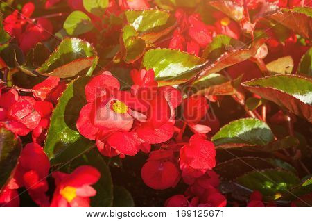Blooming flowers of red begonia. Natural flower background with begonia flowers. Closeup of red flowers of begonia