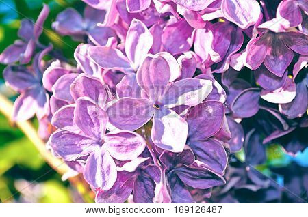 Blooming lilac spring flowers, spring floral background. Selective focus at the central spring flowers soft focus processing. Spring flower background with spring flowers of spring lilac