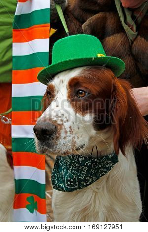 Moscow Russia - March 19 2016: Irish red and white setter at the St. Patrick's Day Parade in the park Sokolniki in Moscow