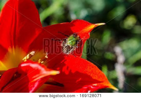 Furry green bug on red flower of a wild tulip in steppes