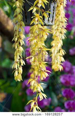 Yellow orchid in garden show nature concept