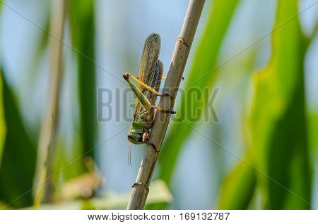 Grown locust on a green branch of plant in a summer