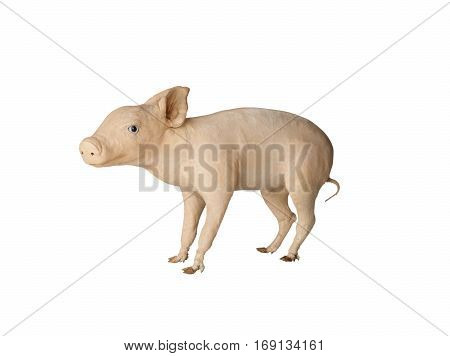Taxidermy stuffed Pig isolated on white background