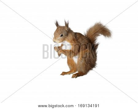 Taxidermy Red Squirrel on isolated white background
