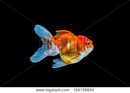 close up goldfish isolated on black background.