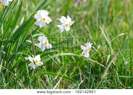 Narcissus flower on a beautiful spring day in green meadow as a background