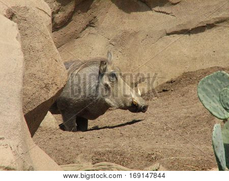 Curled tusks on a warthog's face in a desert environment