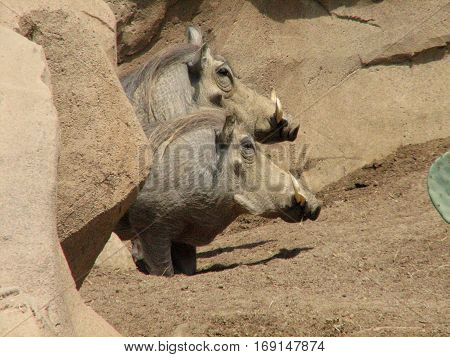 Two warthogs with curved tusks from their snout.
