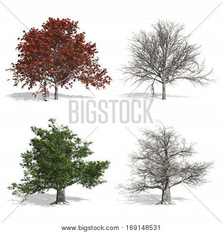Beech trees and bare isolated on white background.