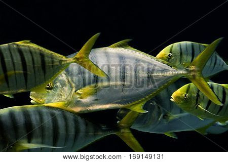 Natural background. Flock Golden Trevally fish. Tropical marine fish.