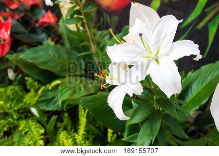 White lilly flower in garden show nature background