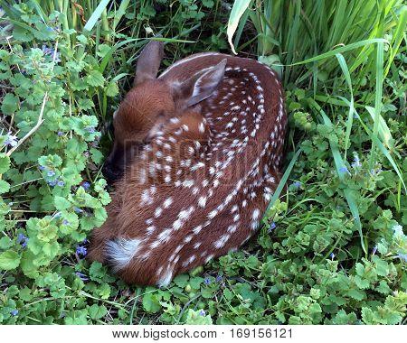Photo of a newborn fawn sleeping in tall grass