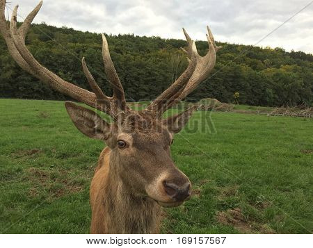 Red Deer - Cervus Elaphus - Walking In The Meadow