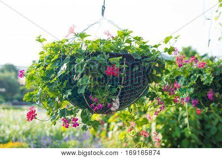 Torenia fournieri hang on flower pot show nature concept