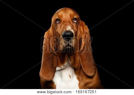 Portrait of Questioningly Basset Hound Dog Looking in Camera on Isolated black background, front view