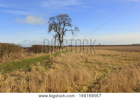 Dry Grasses Hedgerows And An Ash Tree In A Winter Landscape
