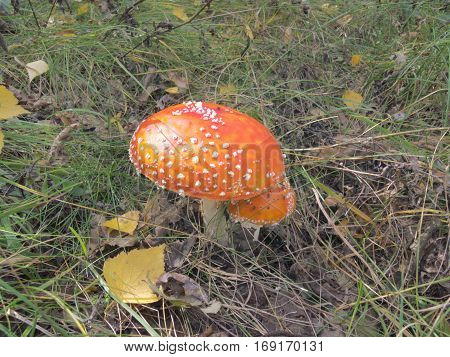 red cap of fly agaric in forest glade among the green grass and wilted foliage