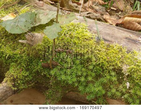 cirriphyllum moss and common hair cap moss on a dry heavy timber over the brook