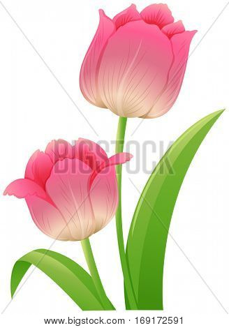 Pink tulip with green leaves illustration