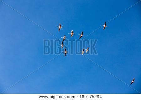 Flamingo Flying, Natural Park Of Sajama (bolivia)