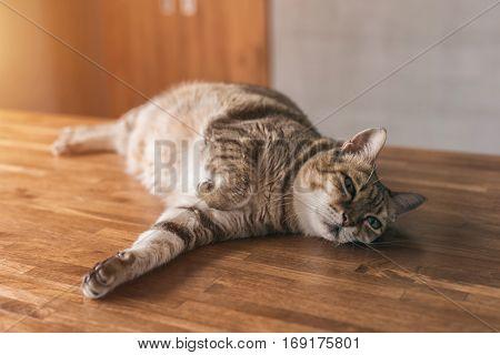 fat tabby cat sleep on the table indoor