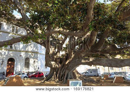 CADIZ, SPAIN - SEPTEMBER 27: Giant Rubber Tree