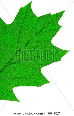 Oak Leaf Macro (1)